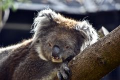 A koala relaxing on a tree. This is a close up of a koala royalty free stock photography