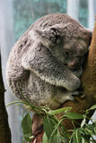 Koala At Rest. A Koala (Phascolarctos cinereus) curls it's body as it sits perched on a branch of a eucalyptus tree royalty free stock image