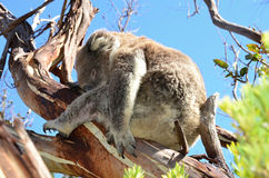 Koala resting on the branch of a eucalyptus tree in nature Australia Stock Images