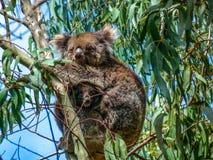 Koala. Resting on an eucalyptus  branch, Kangaroo Island, Australia Stock Image