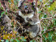Koala. Resting on an eucalyptus branch, Kangaroo Island, Australia stock photography
