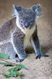 Koala sitting in sand looking ahead stock images