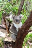 Koala 1. Koala resting on a tree branch, enjoying a moment of relaxation Stock Photography