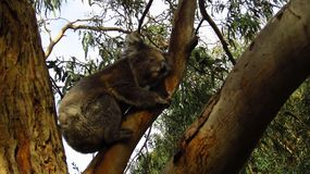 Koala Resting in a Tree. A close up of a wild koala resting in a tree, Australia Royalty Free Stock Image