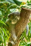 A koala resting in a tree. A sleepy koala resting in a tree surrounded by green foliage stock photography
