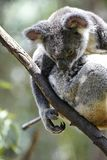 Koala resting on a treetop Stock Images