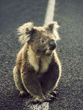 Koala on the road. Koala in them middle of the road. Victoria, Australia Stock Photography