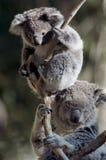 Koala's Stock Fotografie