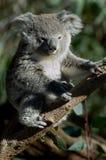 Koala's Stock Foto's