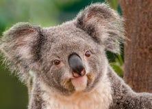 Koala ` s, das vor Niederlassung sitzt lizenzfreies stockfoto