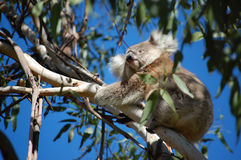 Koala's Eye View. Koala perched in eucalyptus tree on a sunny day in Australia Stock Image