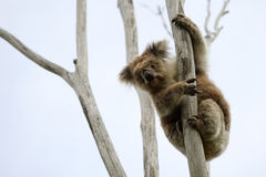 Koala sauvage vers le haut d'un arbre Photos stock