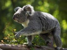 Koala se déplaçant par le tronc Photographie stock