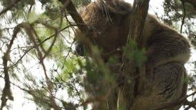 Koala se réveillant après un petit somme dans un arbre clips vidéos