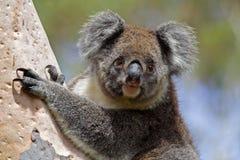 Koala selvagem, console do canguru, Austrália fotos de stock