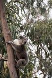 Koala selvaggio Fotografia Stock Libera da Diritti