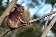 Koala sit on an eucalyptus tree Stock Photos