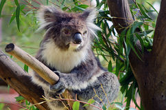 Koala sit on an eucalyptus tree Stock Photos