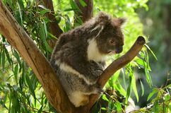 Koala sit on an eucalyptus tree Royalty Free Stock Image