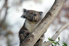 Koala sit on an eucalyptus tree Stock Photography
