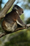 Koala sit on an eucalyptus tree Royalty Free Stock Images