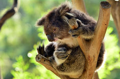 Koala sit on an eucalyptus tree Royalty Free Stock Photos