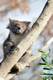 Koala sit on an eucalyptus tree Stock Photo