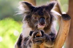 Koala sit on an eucalyptus tree Royalty Free Stock Image