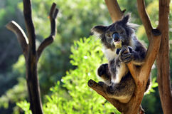 Koala sit on an eucalyptus tree Stock Photography