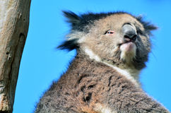 Koala sit on an eucalyptus tree Stock Images