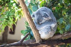 Koala Sits on Branch Royalty Free Stock Photography