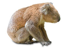 Koala sitting stock images