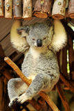 Koala is sitting on a branch Stock Photos