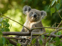 Koala sitting on branch. A koala sitting on top of a branch and awake during the day Royalty Free Stock Photos