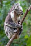 Koala sitting on a branch Royalty Free Stock Photography