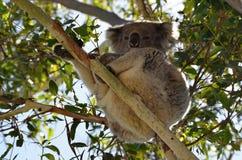 Koala sitting on eukalyptus of tree in nature Australia Stock Photography