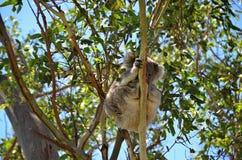 Koala sitting on eukalyptus of tree in nature Australia Stock Images