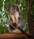 Koala gripping branch Royalty Free Stock Photography