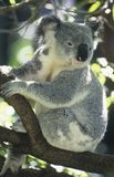 Koala sitting in tree Stock Photos