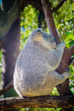 Koala Sitting On A Tree Royalty Free Stock Photo