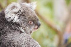 Koala själv i ett träd Arkivbilder