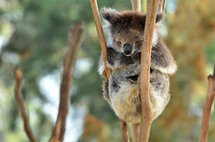 Koala sleep on an eucalyptus tree Royalty Free Stock Photography
