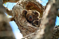 Koala sleep on a tree Royalty Free Stock Photography