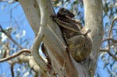 Koala sleep on a tree Royalty Free Stock Photo