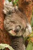 Koala sleeping. Wild koala sleeping, Phascolarctos cinereus, Australia Royalty Free Stock Photos