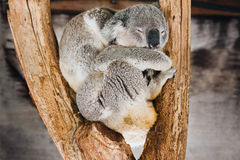 Koala, sleeping Stock Photography
