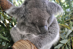 Koala is sleeping Stock Photo