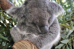 Koala is sleeping. On the tree Stock Photo