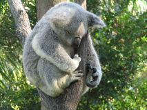 Koala Sleeping. A Koala doing what comes naturally, sleeping Royalty Free Stock Photography
