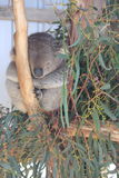 Koala sleeping Royalty Free Stock Images